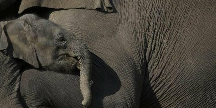 USA et Chine veulent lutter contre le trafic de bêtes sauvages