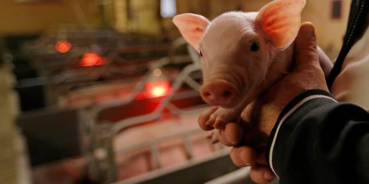 Le prix du porc reste sous 1,40 euro le kg, action des éleveurs