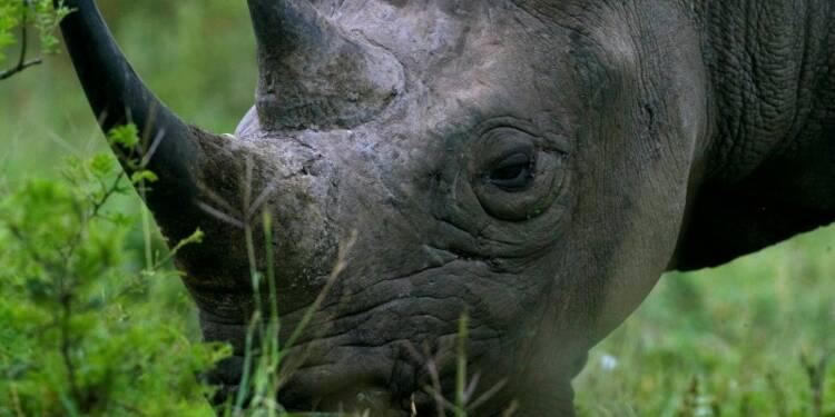 2014, année noire pour les rhinocéros en Afrique du Sud