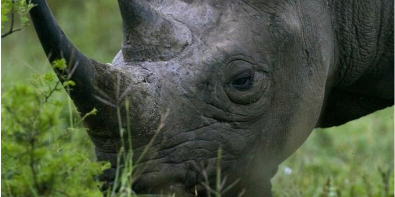 L'Afrique du Sud a perdu 1.215 rhinocéros en 2014