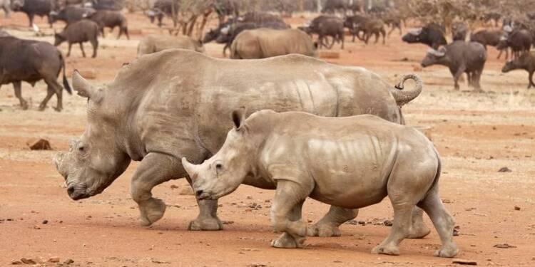 L'Afrique du Sud va évacuer 500 rhinocéros du parc Kruger