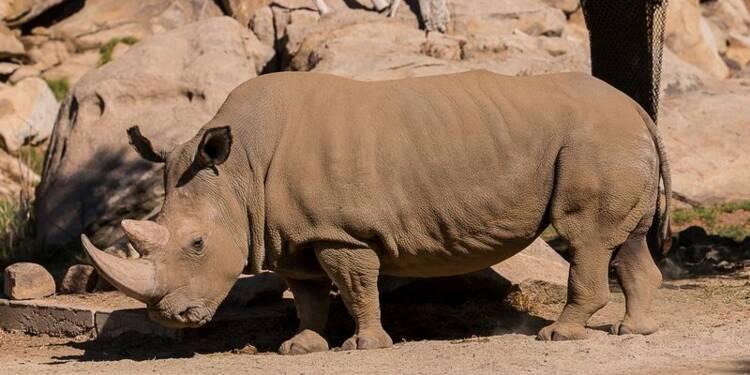 Mort d'un rhinocéros blanc en Californie, espèce presque éteinte