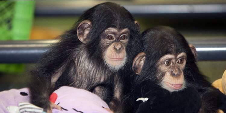 Les singes sont aussi bons managers que nous !