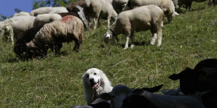 Bientôt des colliers de géolocalisation pour les brebis, chevaux et vaches des Pyrénées
