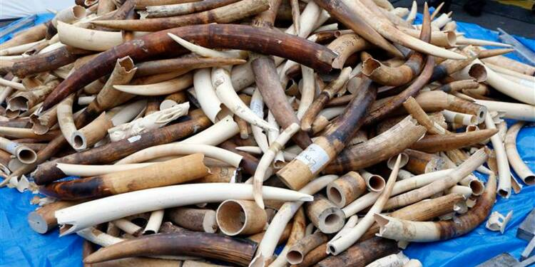 Trois tonnes d'ivoire illégal broyées à Paris