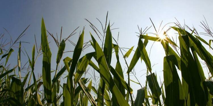 Le gouvernement persiste contre les maïs OGM