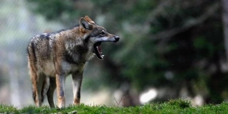 Un premier loup identifié dans la Meuse