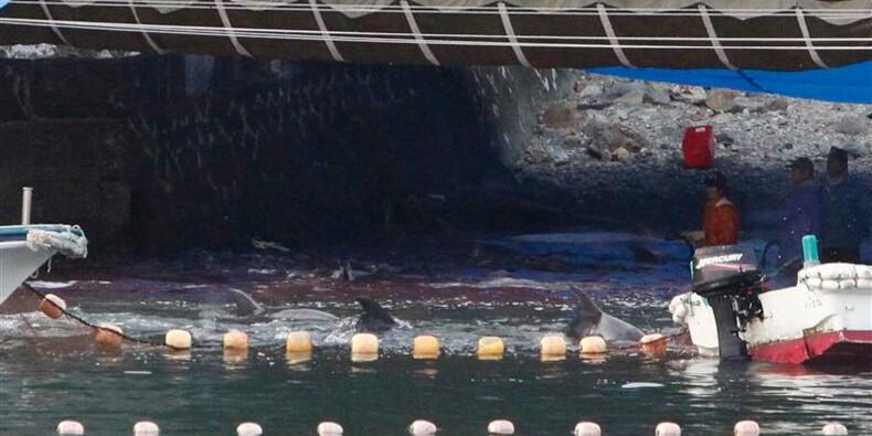 Une trentaine de dauphins tués dans la baie de Taiji au Japon