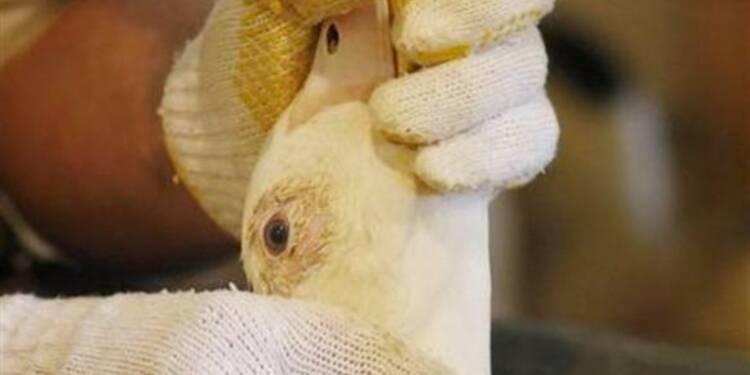 Les producteurs de foie gras se forment pour résister