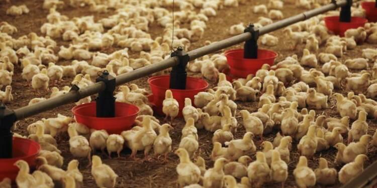 Le secteur avicole français craint des faillites en chaîne