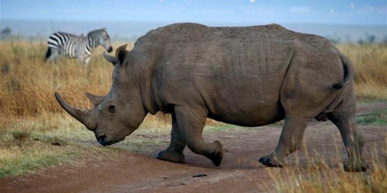 Le droit de chasser un rhinocéros vendu 350.000 dollars aux Etats-Unis