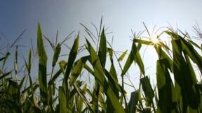 Le Sénat rejette l'interdiction de culture des maïs OGM