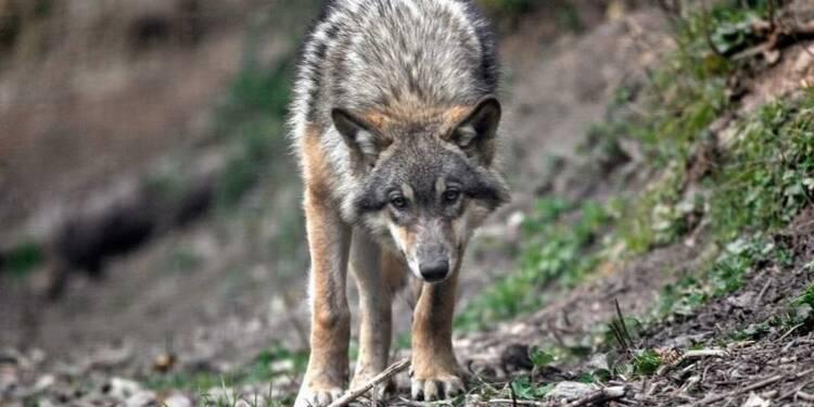 Les éleveurs du Sud-Est demandent l'éradication du loup