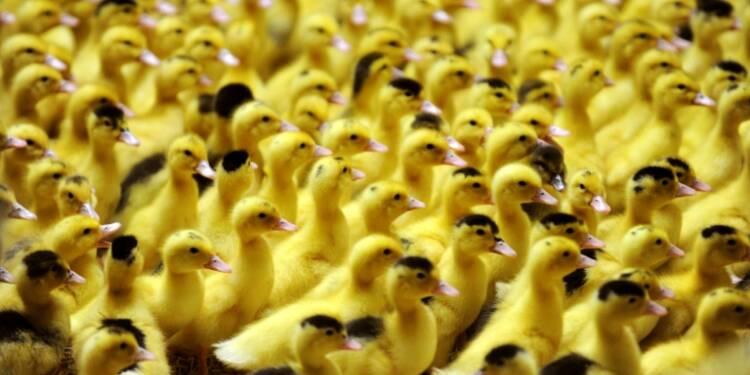 Grippe aviaire: six semaines de vide sanitaire dans le sud-ouest