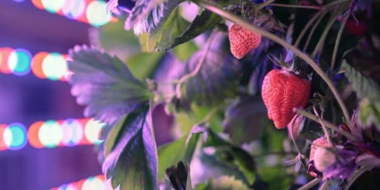 Avec ses conteneurs, Agricool veut produire des fraises en ville