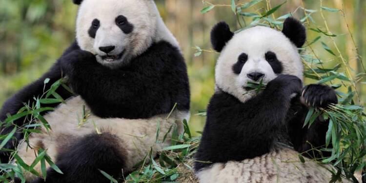 le premier panda n en france devrait rapporter gros au zoo de beauval. Black Bedroom Furniture Sets. Home Design Ideas