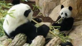 Deux pandas naissent au zoo de Beauval, l'un meurt peu après