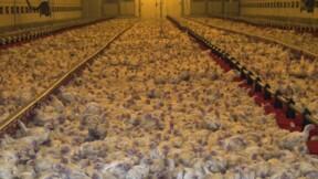 Une nouvelle vidéo de L214 pour dénoncer les conditions d'élevage des poulets Doux