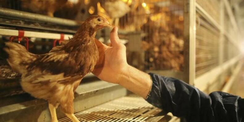 Pas de contamination au fipronil dans les élevages français