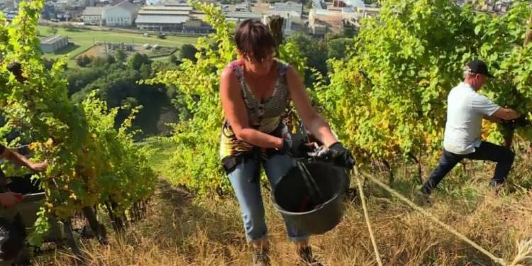 En Alsace, des vendanges en rappel pour un pinot gris grand cru