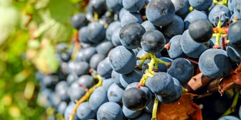 Quiz : lequel de ces cépages est cultivé en Alsace, Bourgogne, Champagne ... ?