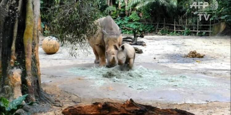 A Singapour, première sortie en public pour un bébé rhinocéros