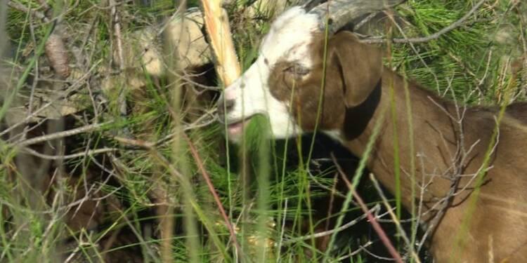 Dans le Gard, un berger et son troupeau entre pinèdes et lagunes