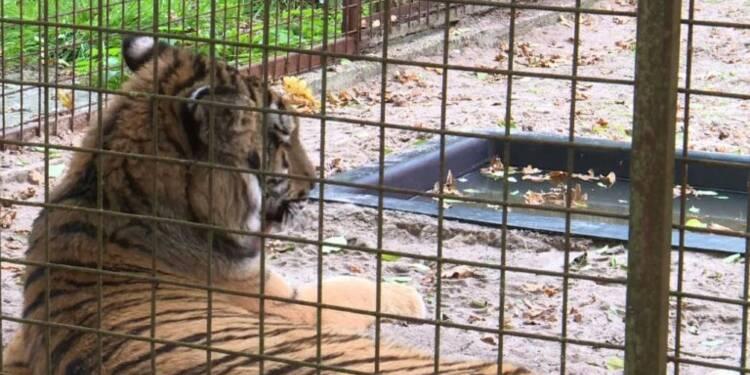 Deux tigres rescapés d' Alep trouvent refuge aux Pays-Bas