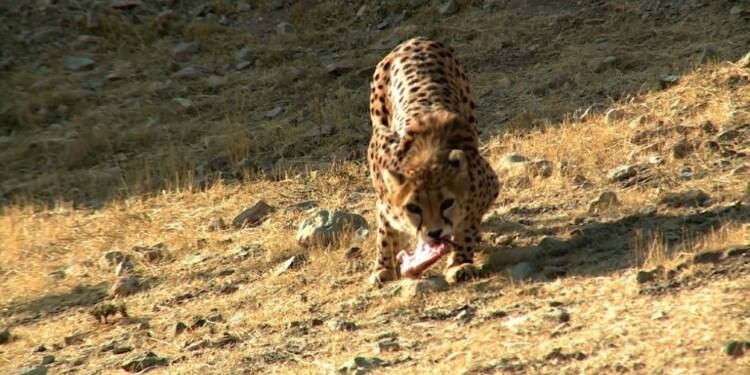 L'Iran se mobilise pour sauver les derniers guépards d'Asie