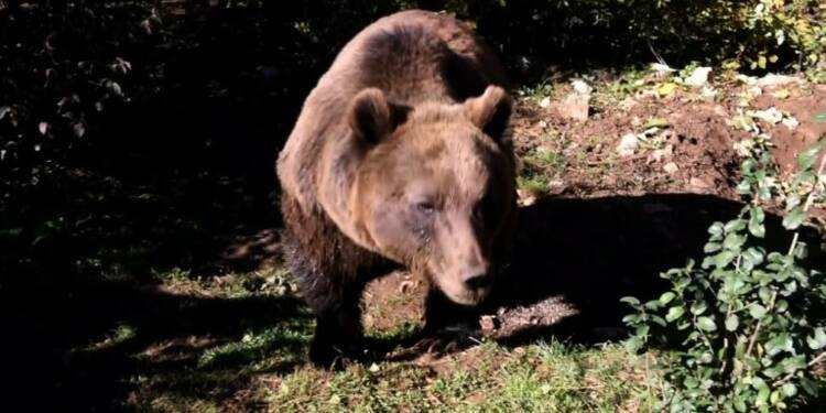 Au coeur de la Croatie, un refuge pour les ours