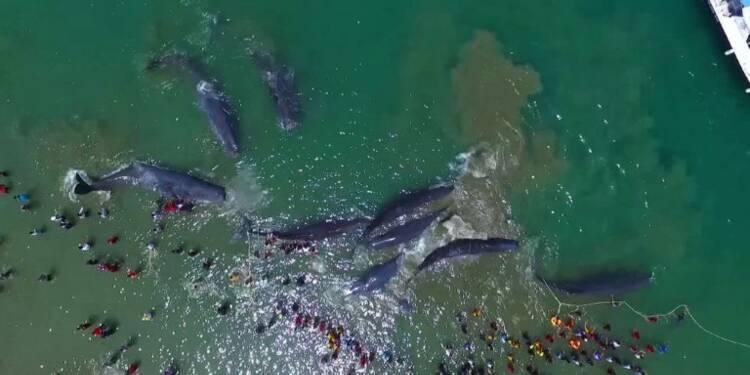 Indonésie: quatre grands cachalots morts échoués sur une plage