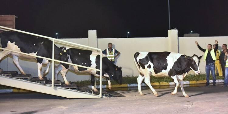 14.000 vaches débarquent au Qatar par avion
