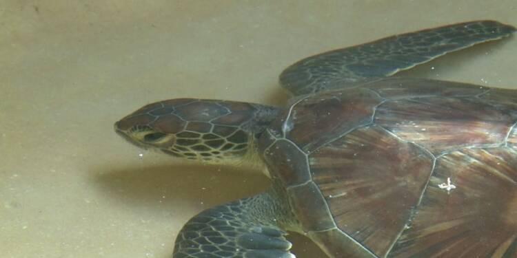 Kenya: le triste sort de tortues assaillies par le plastique