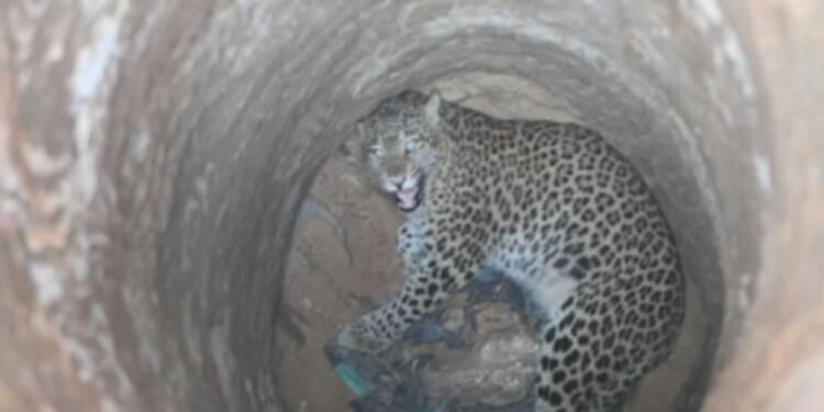 Un léopard secouru du fond d'un puits en Inde