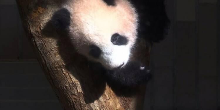 Un zoo de Tokyo présente son bébé panda né il y a 6 mois