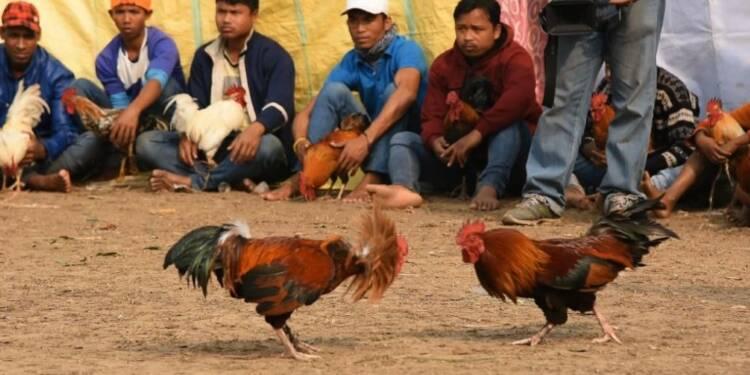 Combats de coqs à un festival tribal en Inde