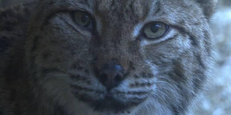 Jura: un centre pour les lynx accidentés de la route