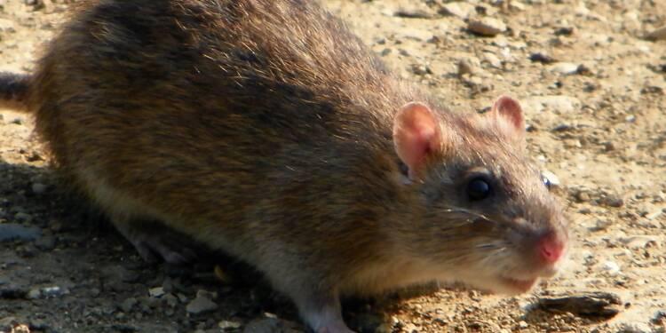 Rats à Paris : les images impressionnantes d'un éboueur