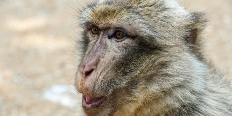 Volkswagen s'excuse d'avoir forcé des singes à respirer des gaz d'échappement