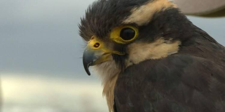 Mexico/Aéroport: Des faucons veillent à la sécurité des vols