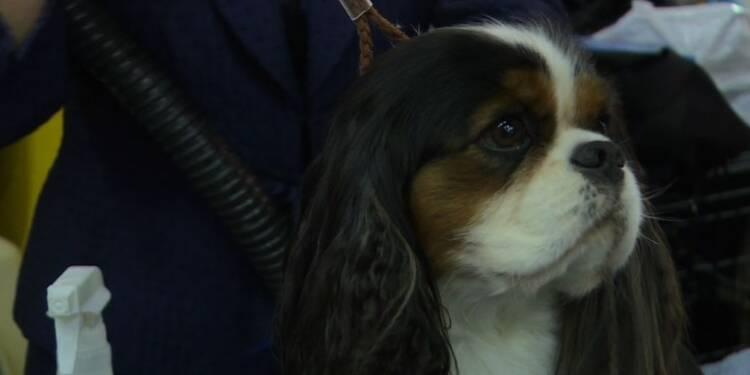 Le concours canin de New York, une affaire de professionnels