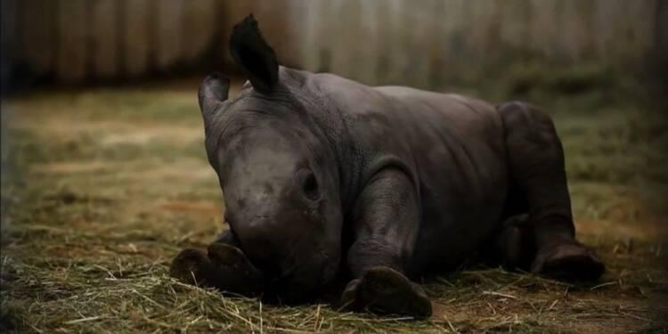 Zoo d'Amnéville: naissance d'un rhinocéros et de tigres blancs