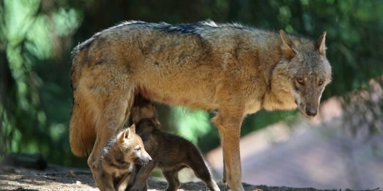 Les loups reviennent en masse. Faut-il les abattre ?