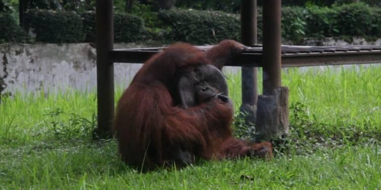 Indonésie: un orangoutan fume la cigarette d'un visiteur du zoo