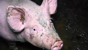 L214 épingle un élevage porcin dans une vidéo choc