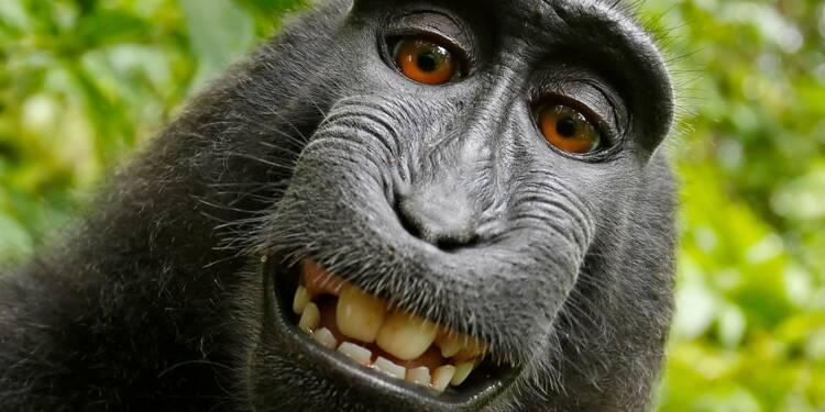 Selfie Monkey : quand la justice prive un singe de ses droits d'auteur