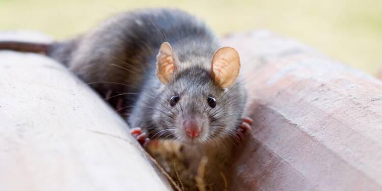 Rats, punaises de lit, mérules... les nuisibles attaquent ! Et ça va coûter cher