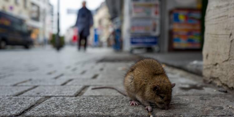 Paris : un maire LR part en guerre contre les rats