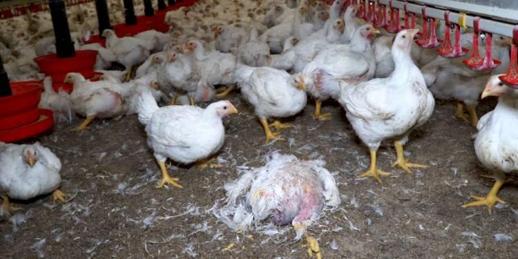 Photo d'un élevage de la société Maître Coq