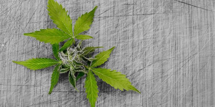 Le cannabis légal bientôt illégal ?